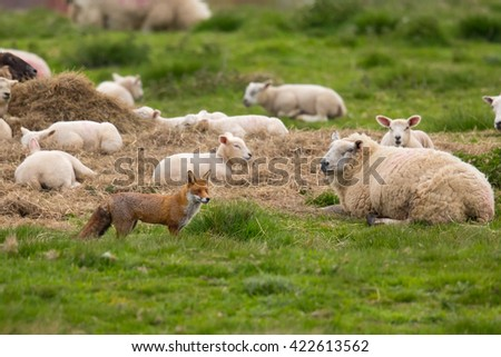 A Red Fox (Vulpes vulpes) standing in pasture field in front of several partially focused sheep that are lying down, East Yorkshire, UK