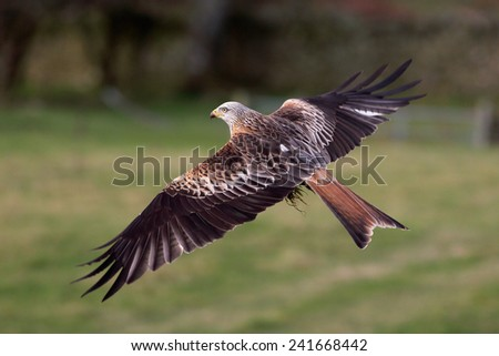 A Red Kite bird of prey in flight over a meadow - stock photo