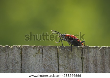 A red lily leaf beetle shield bug walking the neighbor fence, on the lookout. - stock photo