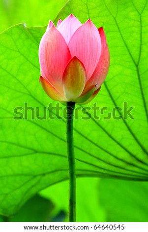 a red lotus flower bud against green foliage - stock photo
