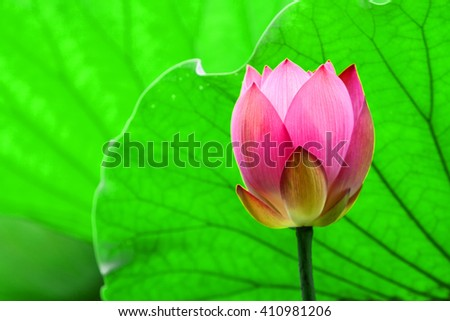 a red lotus flower bud in fresh blossom against green foliage with veins clearly visible - stock photo