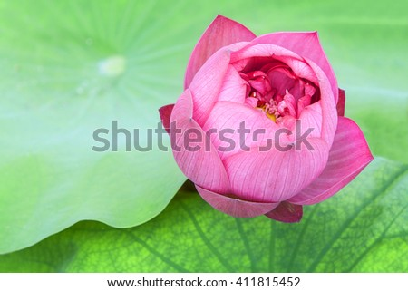 a red lotus flower bud in fresh blossom among green foliage - stock photo