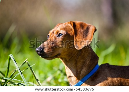 A red miniature Dachshund, posing in the grass in the late afternoon sun. - stock photo