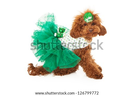 A red miniature poodle wearing a green dress with shamrocks on it and a hat - stock photo