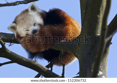 A Red Panda (Ailurus fulgens) sleeping high in the branches of a tree in southern China. Also know as the Lesser Panda. - stock photo