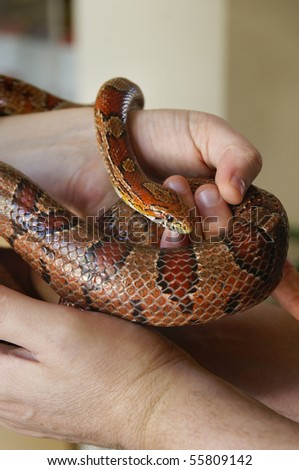 A red rat snake in a man's hands. - stock photo