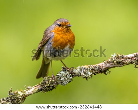 A red robin. A regular companion during gardening pursuits