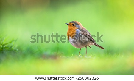 A red robin (Erithacus rubecula) foraging on the ground on bright green background. This bird is a regular companion during gardening pursuits - stock photo