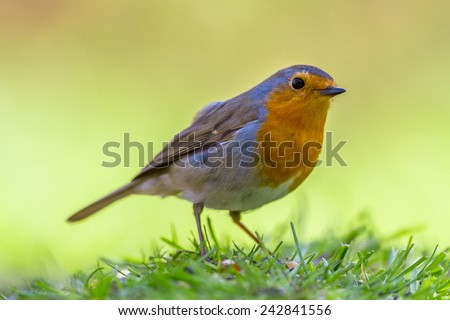 A red robin (Erithacus rubecula) foraging on the ground on vivid yellow background. This bird is a regular companion during gardening pursuits - stock photo