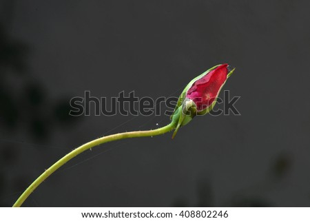 A red rose bud.