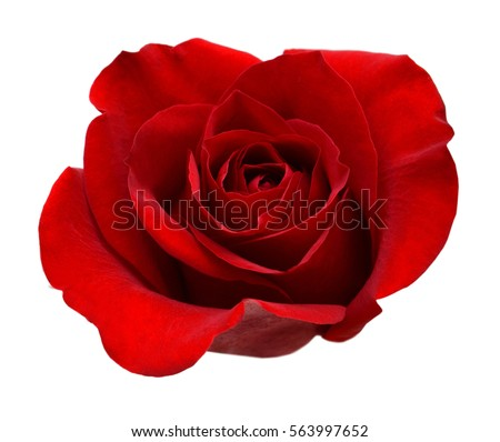A red rose head isolated