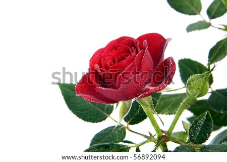 a red rose isolated on a white background - stock photo