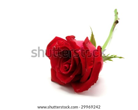 A red rose with stem and leaves on white background - stock photo
