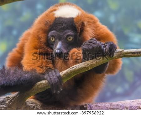 A red ruffed lemur - stock photo