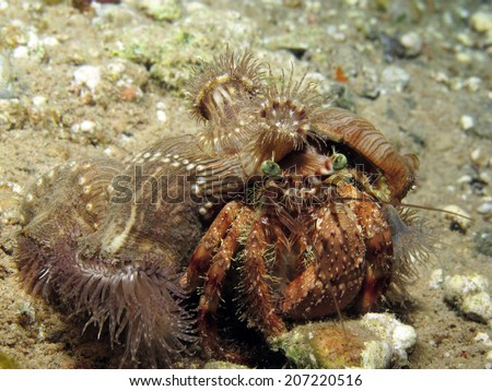 A Red Sea anemone carrier hermit crab at night - stock photo