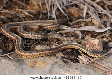 A Red-sided Garter Snake, Thamnophis sirtalis parietalis, warming itself by thermoregulation in the last sunlight of the day - stock photo