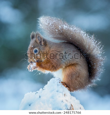 A Red Squirrel gathering food to survive the Winter - stock photo