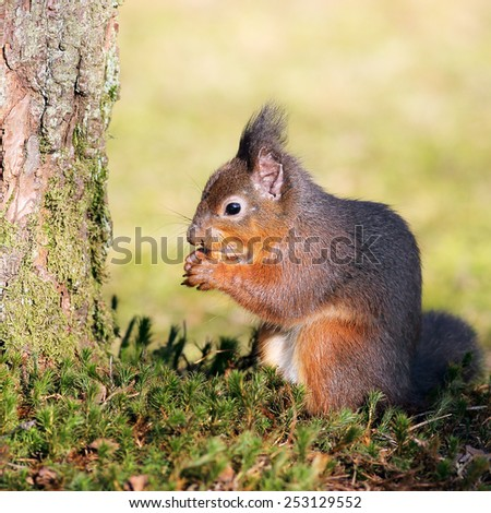 A Red Squirrel sitting in a meadow eating a hazelnut.