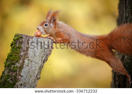 A red squirrel stretching to reach a hazel nut - stock photo