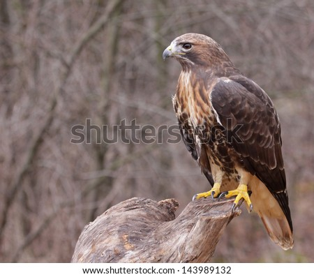 A Red-tailed hawk (Buteo jamaicensis) sitting on a stump.  - stock photo