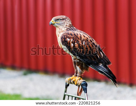 A red-tailed hawk is perched at an outdoor show on birds of prey.  - stock photo