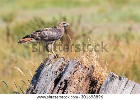 A Red-Tailed Hawk perched on a dead tree eating a vole it had just captured. - stock photo