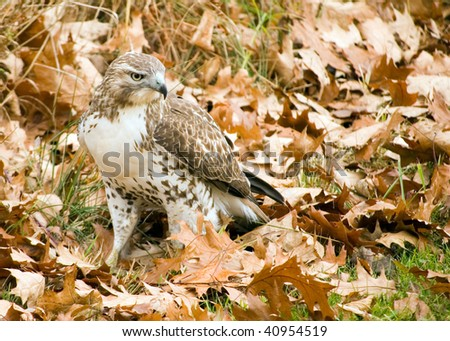 A Red-tailed hawk perched on the ground among fallen leaves. - stock photo