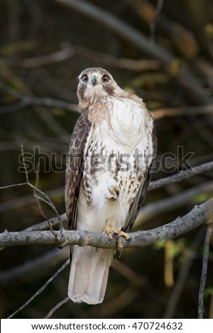 A Red-tailed Hawk sits on a branch with one foot raised in while staring right at the camera.