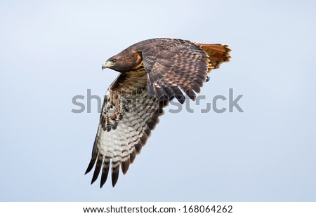 A red-tailed hawk wings through the hazy sky with powerful down-strokes
