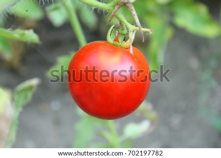 a red tomato on the plant