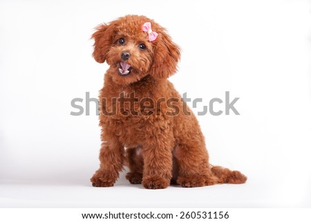 A red toy poodle puppy with a pink bow sits with open mouth - stock photo