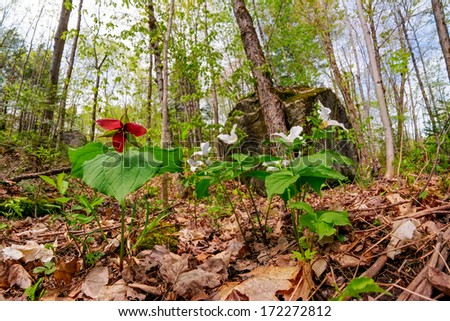 A Red Trillium erectum growing amongst White Trillium grandiflorum on the forest floor.  Low angle view.   - stock photo