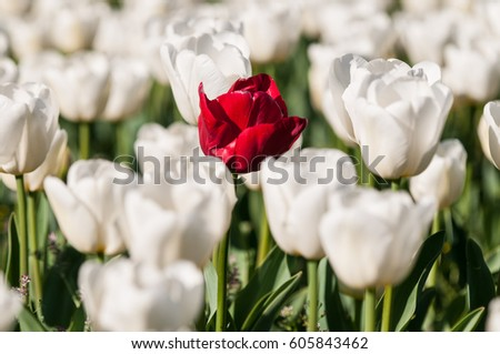 A red tulip among white tulip field