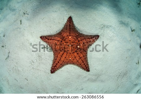A red West Indian starfish (Oreaster reticulatus) crawls slowly across the shallow seafloor of Turneffe Atoll in Belize. This echinoderm is an omnivore and feeds on algae, sponges, and invertebrates. - stock photo