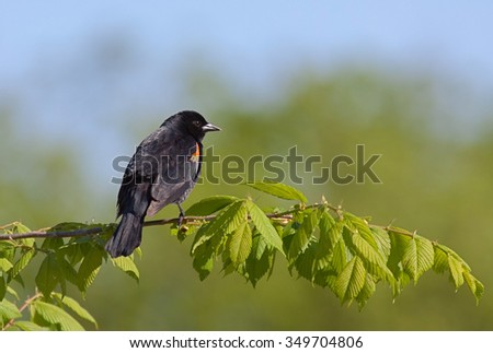 A red-winged blackbird perched on a leafy green branch with the blue sky above.