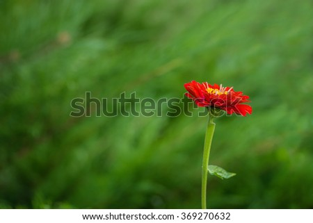 A red zinnia flower on a green background. - stock photo