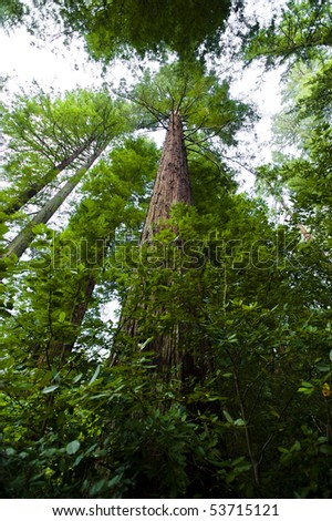 A redwood grove perspective from the forest floor - stock photo