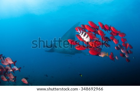 A reef manta swimming alongside bright red big eye crescent trails  - stock photo