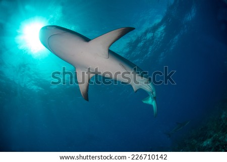 A reef shark passing over head of a diver - stock photo