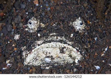 A Reef stonefish (Synanceia verrucosa) camouflages itself in sand near a coral reef in Indonesia.  This is one of the most venomous fish in the world.A - stock photo