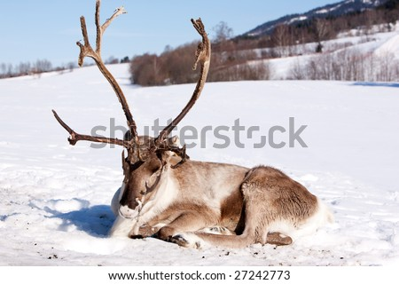 A reindeer laying down sleeping in the snow - stock photo