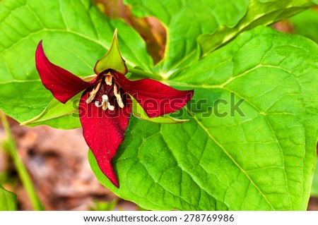 A relatively rare red trillium blooming in a spring wood - stock photo