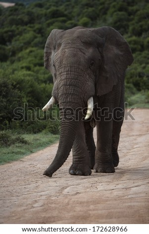 A relaxed Elephant walks up the hill - stock photo