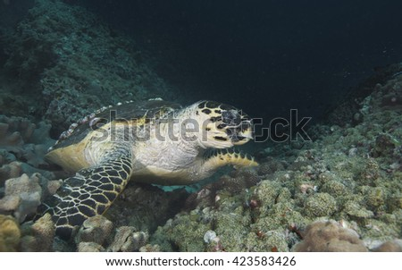 A resting feeding critically endangered Hawksbill (Eretmochelys imbricata) sea turtle swimming in blue water the coral reef encrusted Daymaniyat Islands nature reserve off the coast of Oman. - stock photo