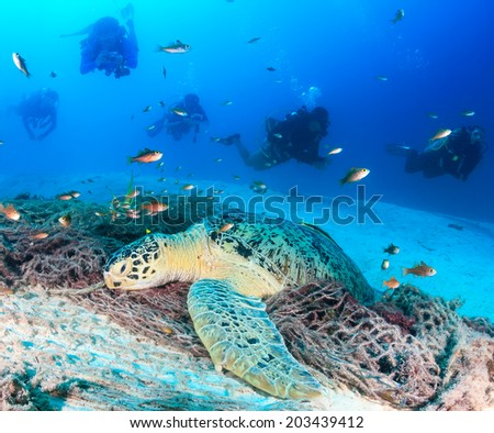 A resting green turtle is overcrowded by SCUBA divers - stock photo