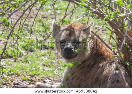 A resting hyena beneath the shade of a low growing bush.