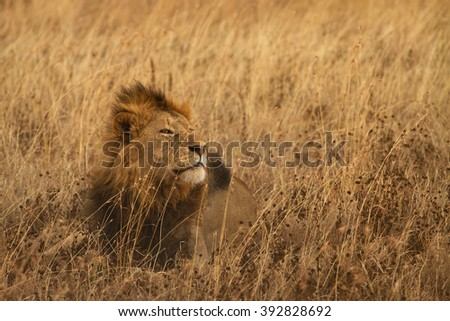 A resting lion (Panthera leo), camouflaged by savannah grasses in the Ngorongoro crater, Tanzania - stock photo