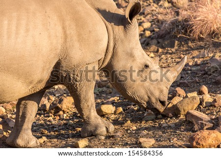 A Rhino grazing in the dry savannah lands of Pilanesberg National Park, South Africa - stock photo