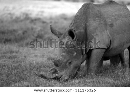 A rhino / rhinoceros stands proud in this sepia tone image. South Africa - stock photo