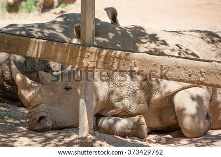A rhino sleeping on the ground - stock photo